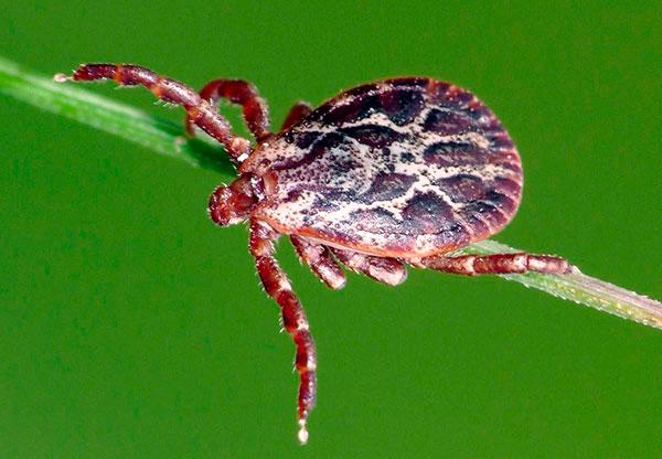 Пастбищный клещ (Dermacentor marginatus)