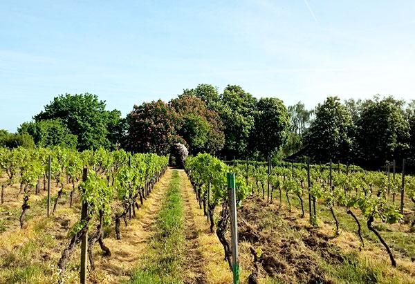 Профилактика распространения виноградных клещей