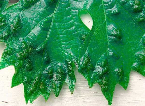 Галлы на внешей стороне листа от виноградного зудня