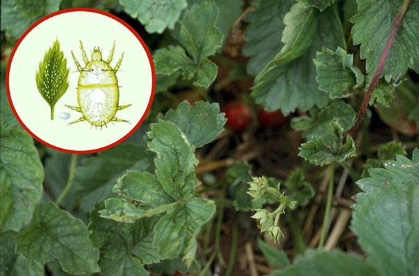 Выясняем, насколько опасен земляничный клещ для садовых культур и как с ним бороться...