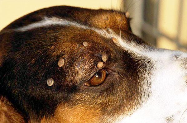 Выясняем, как правильно действовать, если клещ укусил собаку...