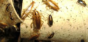 Как морить тараканов в квартире и кому поручить дезинсекцию