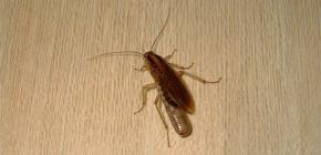 Где тараканы обычно прячутся в квартире и могут ли они ползти из канализации?