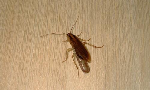 Где тараканы прячутся в квартире...