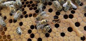 Применение настойки пчелиной моли для лечения заболеваний