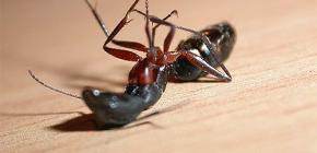 Выбираем средство от домашних муравьев в квартире