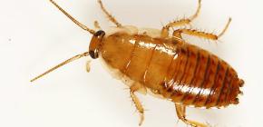 Чем обработать квартиру от тараканов?