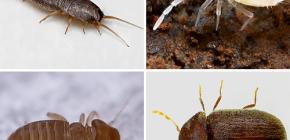 Каких мелких насекомых можно встретить в квартире