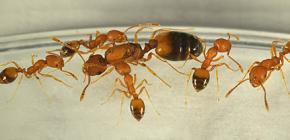Откуда в доме берутся муравьи и нужно ли их опасаться