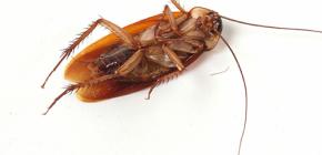 Избавляемся от нашествия тараканов в домашних условиях