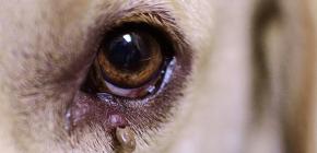 Симптомы, которые могут проявиться у собаки после укуса клеща