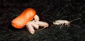 Сколько тараканов может вылупиться (родиться) из одного яйца?