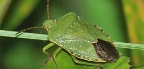 Как выглядит зеленый клоп и стоит ли его бояться