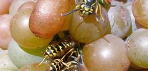 Как уберечь урожай винограда от ос и защитить его на весь период созревания