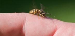Яд осы: полезен ли он для организма человека и как действует