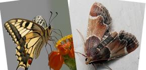 Почему у моли отсутствует хоботок — разве она не бабочка?