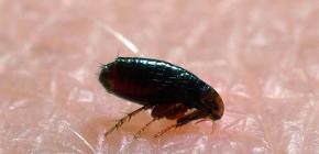 Откуда блохи берутся в домах и квартирах: главные причины появления паразитов
