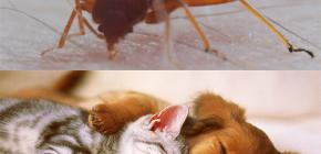Способны ли клопы кусать домашних животных (кошек, собак, куриц)?