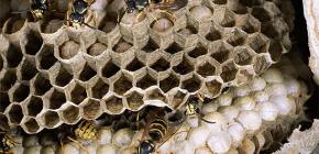 О диких осах и их личинках
