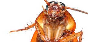 Фотографии различных видов тараканов