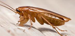 Как и откуда в квартире появляются тараканы