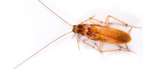 Из жизни рыжих тараканов