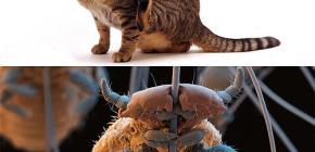 Бывают ли у кошек вши и как вывести мелких паразитов из шерсти питомца
