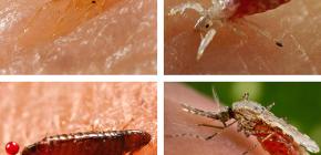 Каких кровососущих насекомых можно встретить в постели или диване