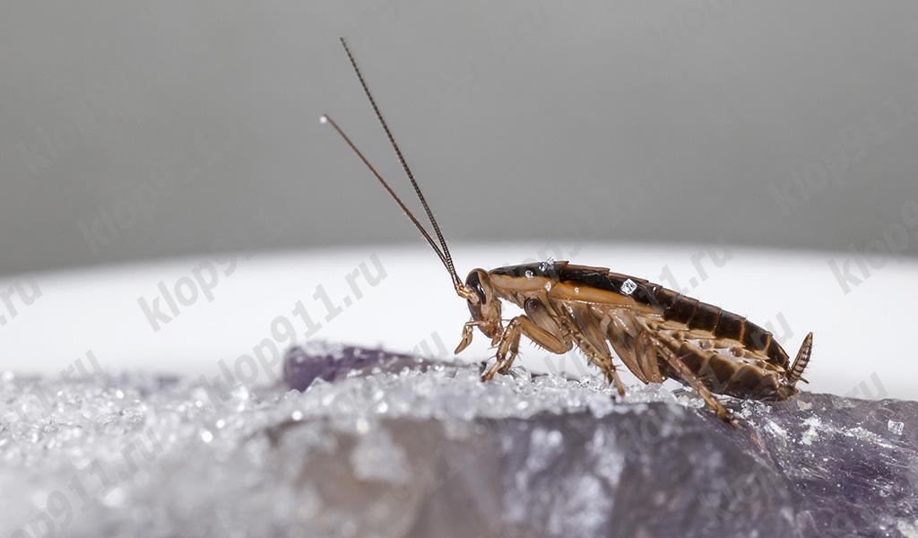 Всеядность тараканов