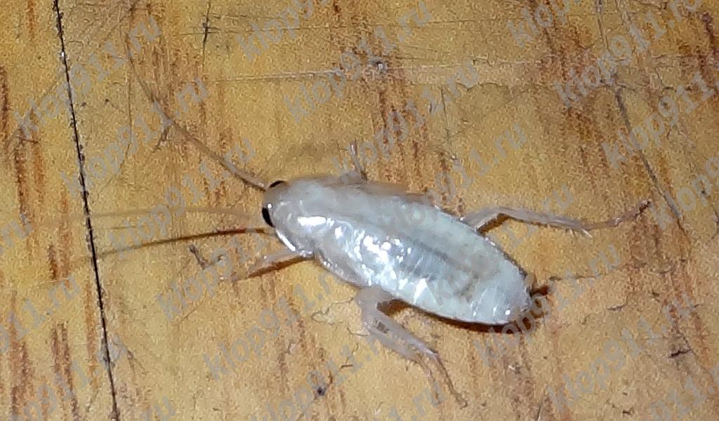 Таракан-альбинос