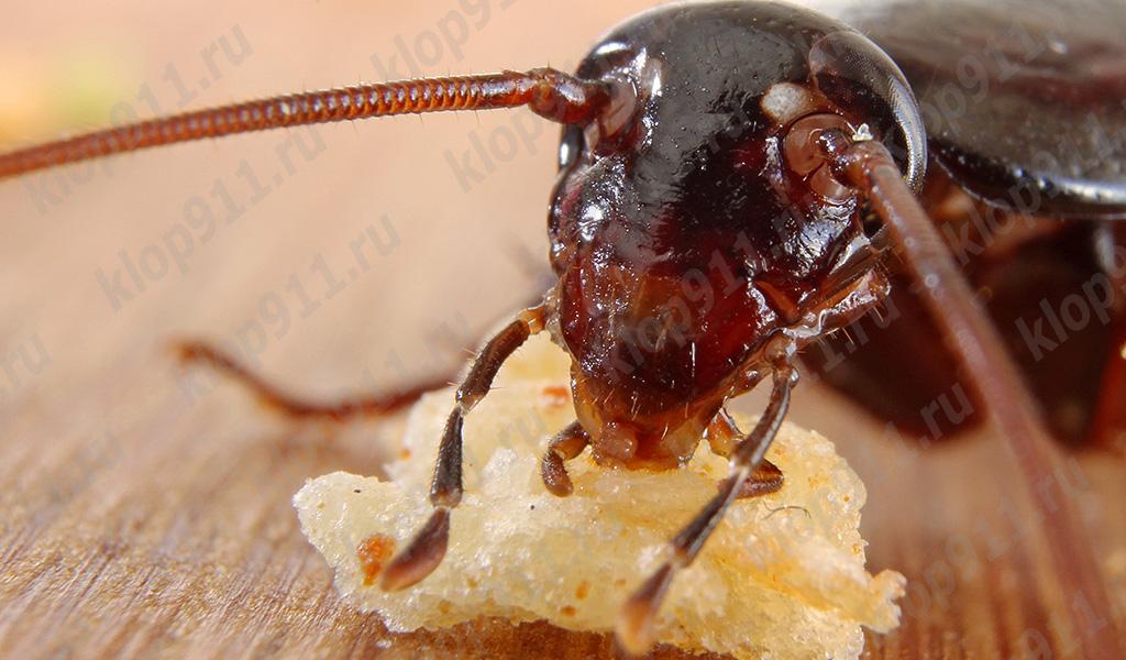 Таракан ест хлеб (макро фотография)