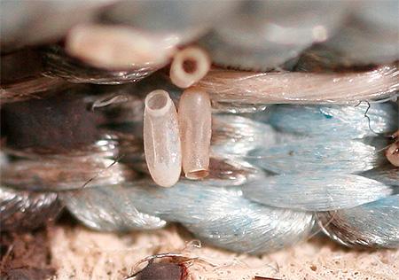 Фото яиц клопа при увеличении