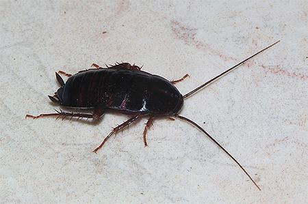 Черный таракан во сне