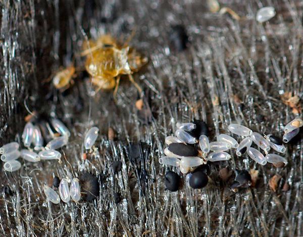 Яйца клопов в целом несколько более устойчивы к действию высоких и низких температур, чем взрослые особи паразитов и их личинки.