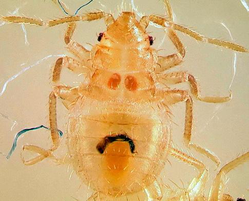 Личинка постельного клопа - нимфа
