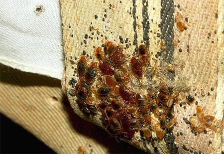 На фото постельные клопы и их личинки