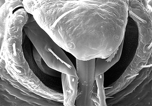 Хоботок клопа под микроскопом