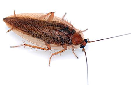 Отростки на брюшке таракана