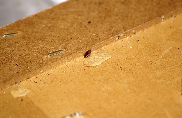Зачастую этих кровососов заносят в дом сами хозяева вместе со старой мебелью...