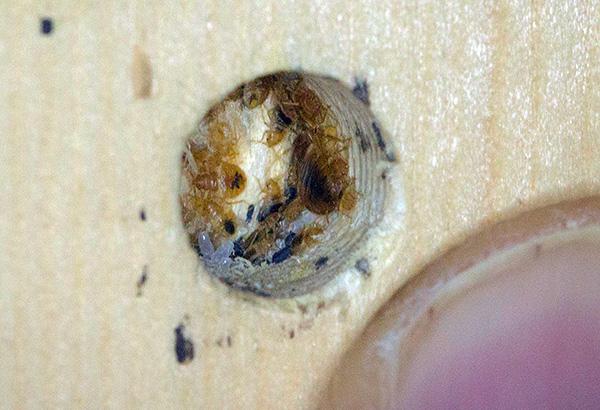 Так выглядит типичное гнездо постельных клопов в мебели.