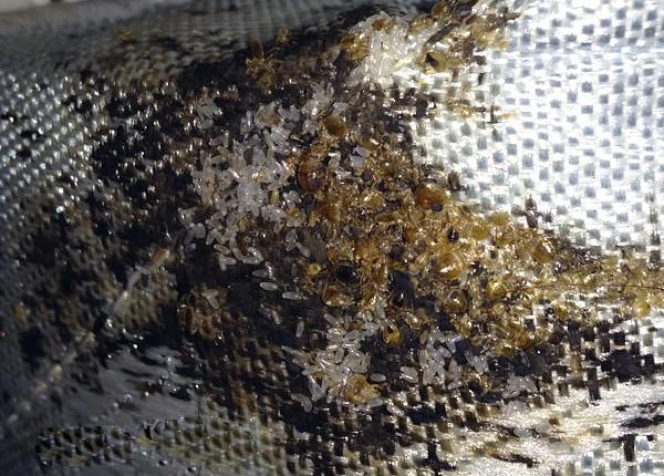 В гнезде можно найти десятки и даже сотни особей паразитов, а также множество яиц.