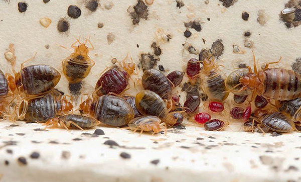 В гнезде паразитов могут встречаться как сытые, так и давно не питавшиеся особи.
