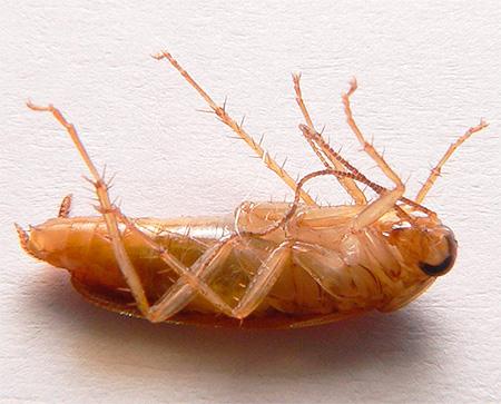 Таракан, пораженный средством Регент, может вызвать гибель своих сородичей