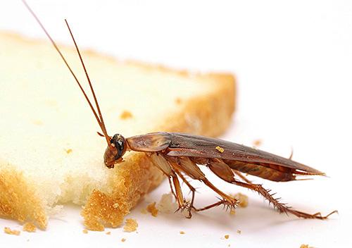 Мусор и остатки еды - пища для тараканов
