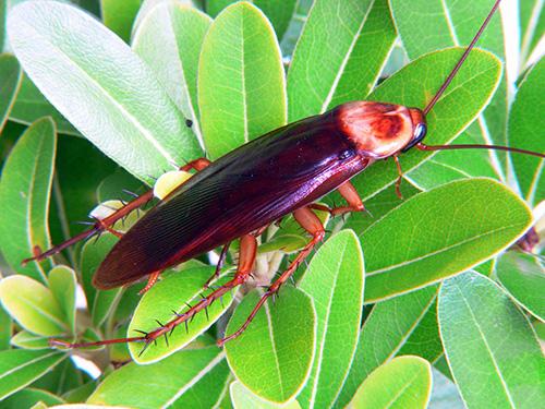 Американский таракан: фото крупным планом