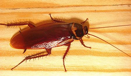 Американский таракан уже давно перебрался в жилье человека