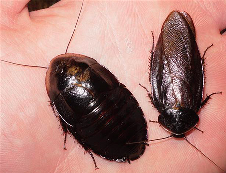 Самка и самец черного таракана