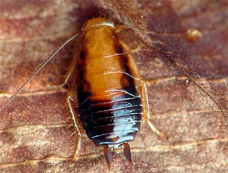 Личинка (нимфа) рыжего таракана крупным планом