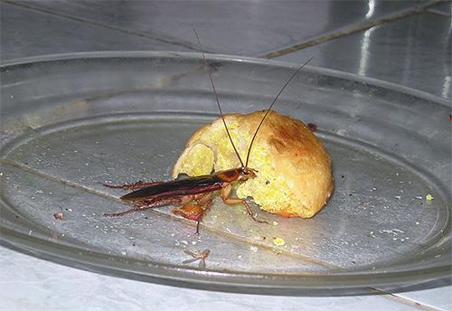 Тараканы способны обходиться без еды более месяца