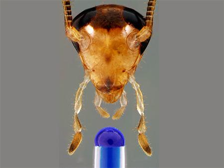 Тараканы способны жить несколько дней без головы